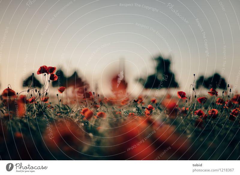 Spreedorado | Mohn Natur Landschaft Pflanze Himmel Horizont Sonne Sommer Schönes Wetter Baum Feld Blühend schön nah Wärme rot Idylle Ferne Mohnfeld Mohnblüte