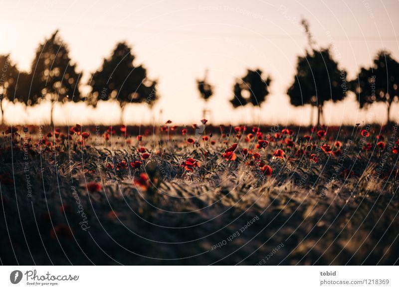 Spreedorado | Mohn Natur Landschaft Pflanze Wolkenloser Himmel Horizont Sommer Schönes Wetter Baum Gras Mohnfeld Getreide Getreidefeld Feld Blühend Wärme rot