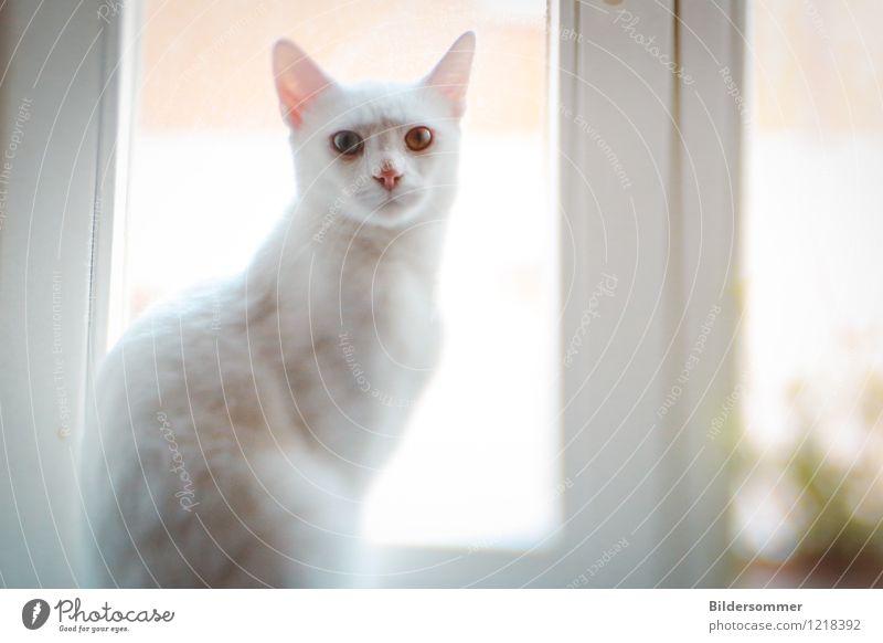Eyes of Sky and Sand Fenster Tier Haustier Katze 1 beobachten Blick sitzen ästhetisch außergewöhnlich hell grau weiß Vertrauen Tierliebe Albino Fell W-Gen