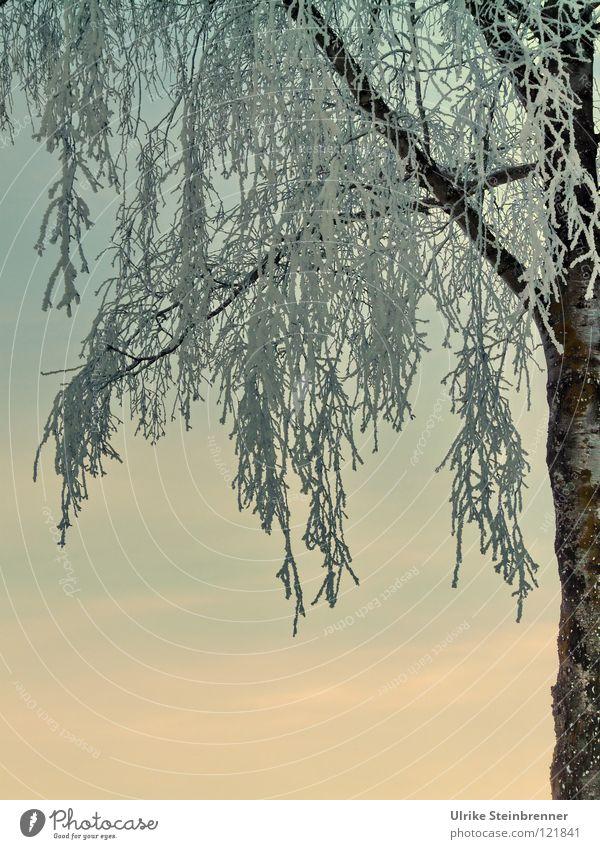 Vereiste Zweige einer Birke vor Abendhimmel Farbfoto Außenaufnahme Morgen Sonnenaufgang Sonnenuntergang Winter Schnee Pflanze Himmel Eis Frost Baum frieren