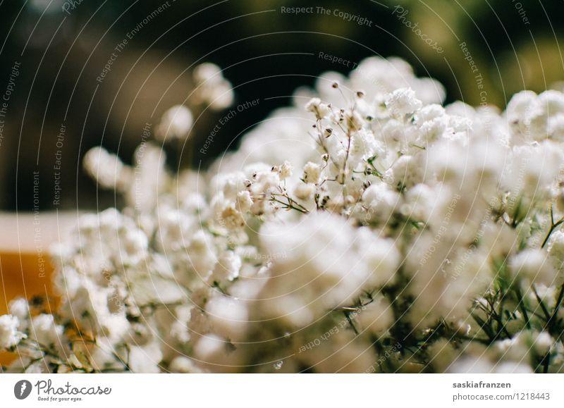 Baby's breath. Feste & Feiern Hochzeit Umwelt Natur Pflanze Frühling Sommer Blume Blüte Duft elegant frisch Kitsch natürlich schön weiß Leben Vergänglichkeit