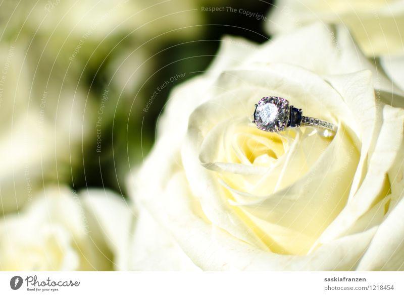 Put a ring on it. Pflanze Blume Liebe Religion & Glaube Feste & Feiern außergewöhnlich glänzend elegant Zukunft Zeichen Ewigkeit Hochzeit Rose Vertrauen