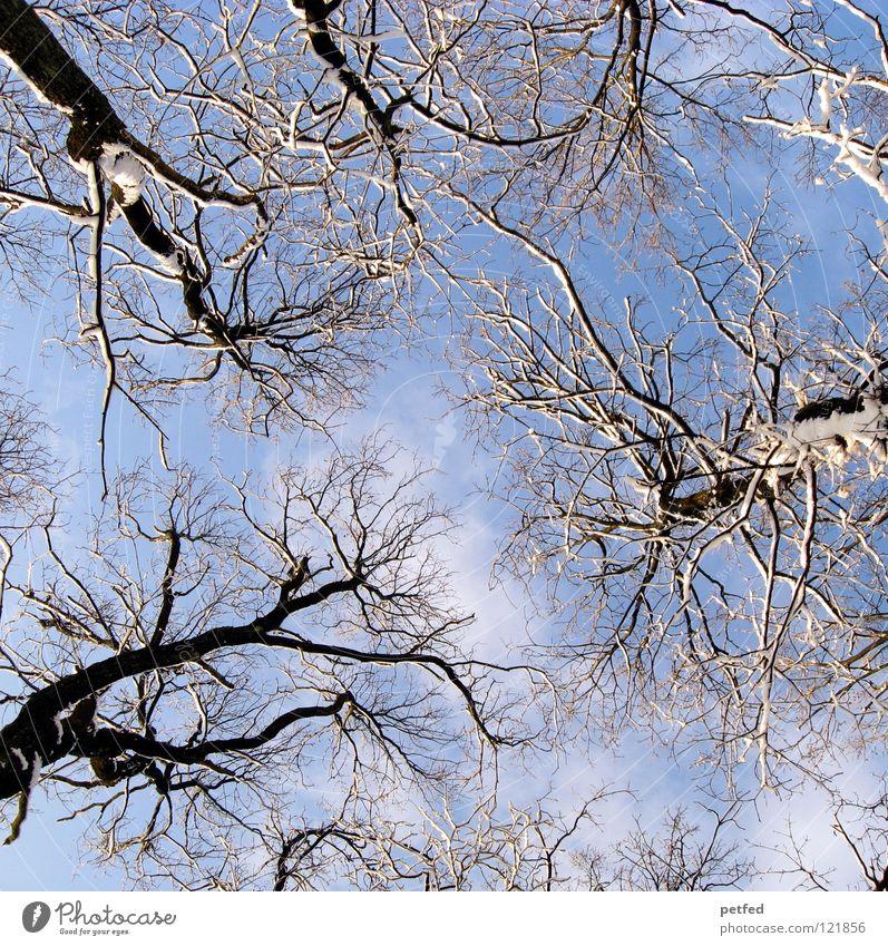 Verastelt Baum Winter Froschperspektive Wald Spaziergang Freizeit & Hobby Wolken weiß braun blau Himmel hoch aufwärts Ast Zweig Baumstamm Natur