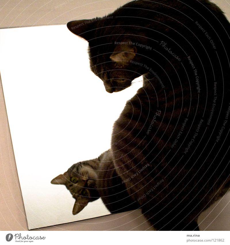 Spieglein Spieglein... Katze Spiegel Licht grün dunkel Verhext Spiegelbild bewegungslos Blick Säugetier Hauskatze Cat Katzenauge hell getiegert beobachten