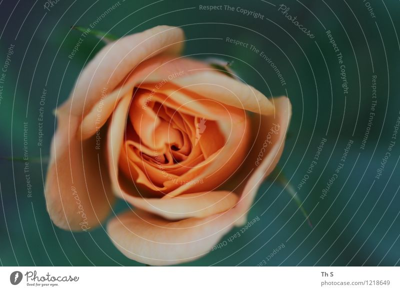 Sommer Natur Pflanze schön grün ruhig Frühling Blüte natürlich Glück rosa elegant authentisch ästhetisch Blühend einfach