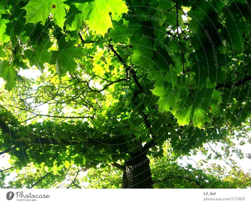 Grüner Ahorn Natur schön Baum grün Sommer Blatt Glück Wärme hell groß Macht Physik Ast heiß sanft Baumkrone