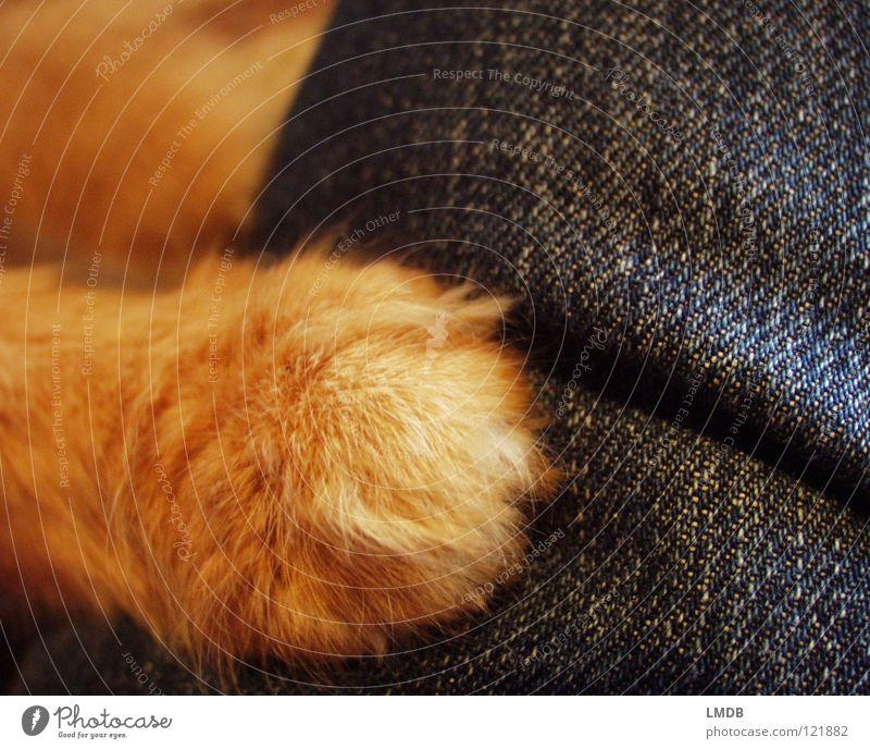 Gib Pfötchen! Katze blau Hand rot Tier orange liegen Fell Jeanshose Schutz festhalten Jeansstoff Haustier Pfote Säugetier kuschlig
