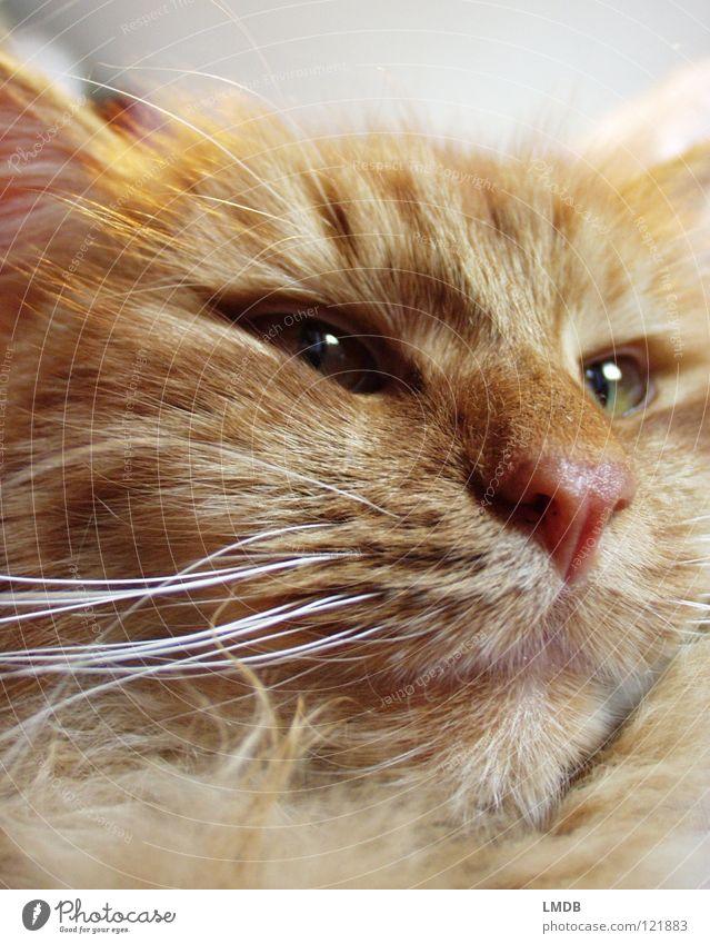 Macogio Katze Tier Fell rot kuschlig Tierliebe schwer Haustier Bart Barthaare Wachsamkeit überwachen bewachen fixieren Blick Säugetier Hauskatze orange bequem