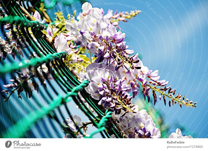 Blauregen - Kannst du den Duft sehen? Sommer Natur Pflanze Wolkenloser Himmel Sonnenlicht Frühling Sträucher Blüte Wildpflanze Glyzinie frisch hell blau violett