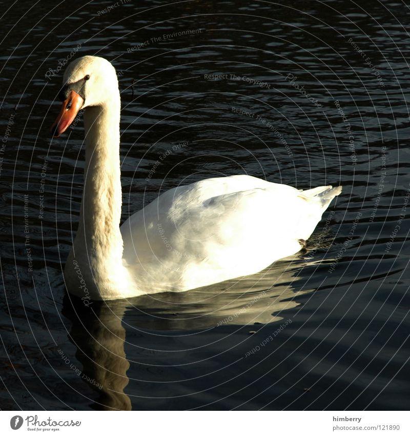 nana mouskouri Schwan Vogel See Park Tier Feder swan Cygnus pen cob animals birds Wasser Natur Flügel Im Wasser treiben Schwimmen & Baden