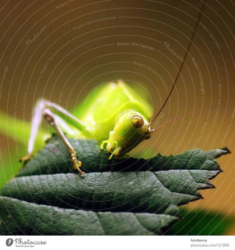 master flip I Insekt Tier Blatt grün Heimchen Schädlinge Heuschrecke Fressen Salto nagen Ernährung springen hüpfen festhalten Park Natur animal grasshopper