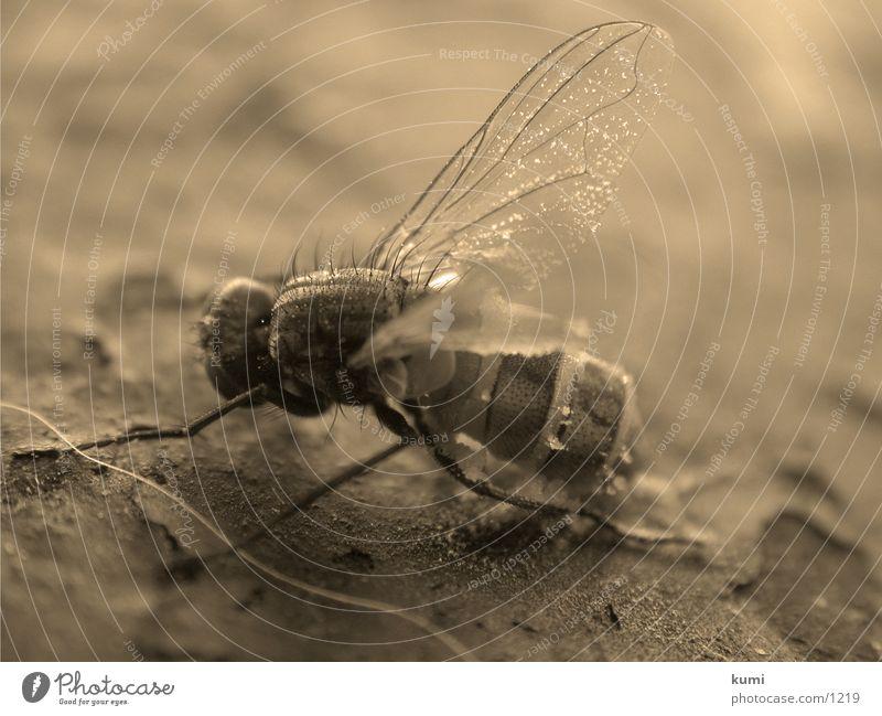 Fliegenleiche Nummer 1 Insekt Verkehr morbid Tod Makroaufnahme Sepia