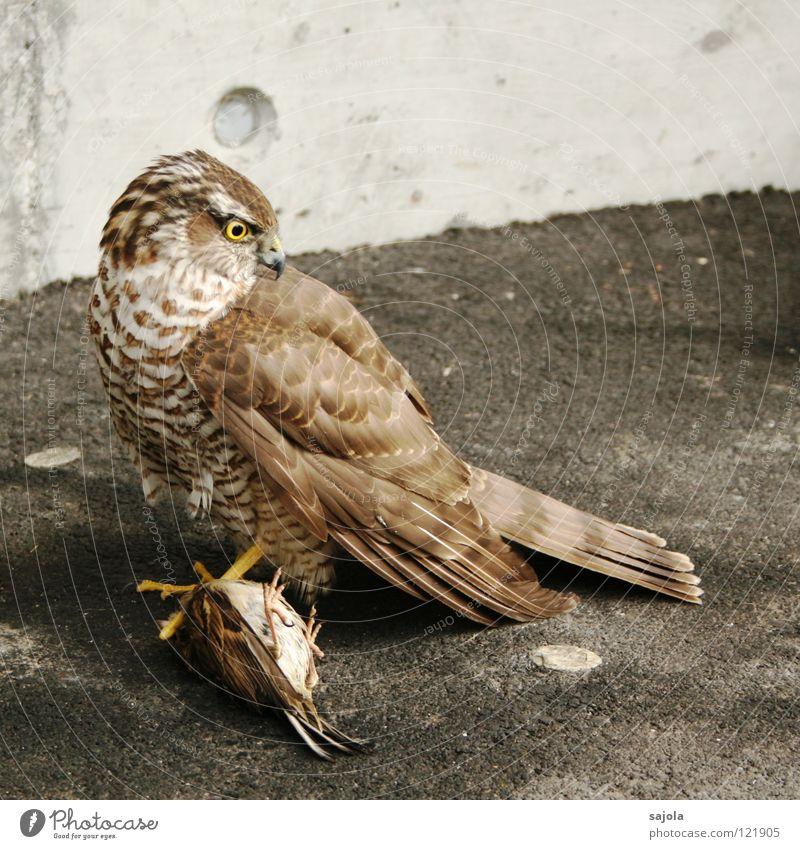 habicht Jagd Erfolg Fuß Tier Wildtier Vogel Flügel Krallen 2 fangen festhalten braun grau Appetit & Hunger Falken Spatz Feder Schnabel hilflos gefangen Habichte