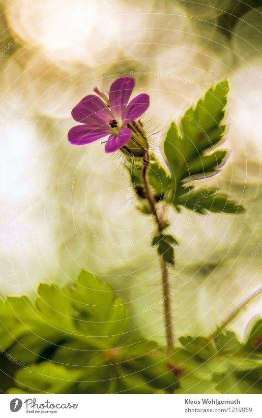 Kleiner Stänker Kunstwerk Umwelt Natur Pflanze Blume Wildpflanze Ruprechtskraut Storchschnabel Storchschnabelgewächse Stinkender Storchschnabel Park Wald