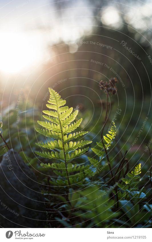 im Rampenlicht l empor Natur Farn Echte Farne Licht Schatten Sonne Gegenlicht