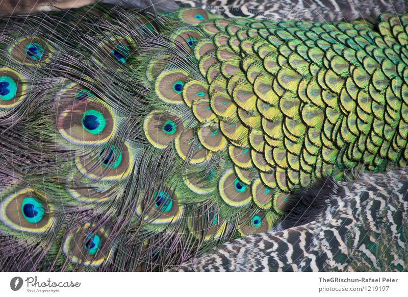 Elegant Tier blau braun mehrfarbig gelb gold grau grün schwarz silber türkis weiß Pfau Pfauenfeder Metallfeder tierisch Auge elegant stolzieren Farbenspiel