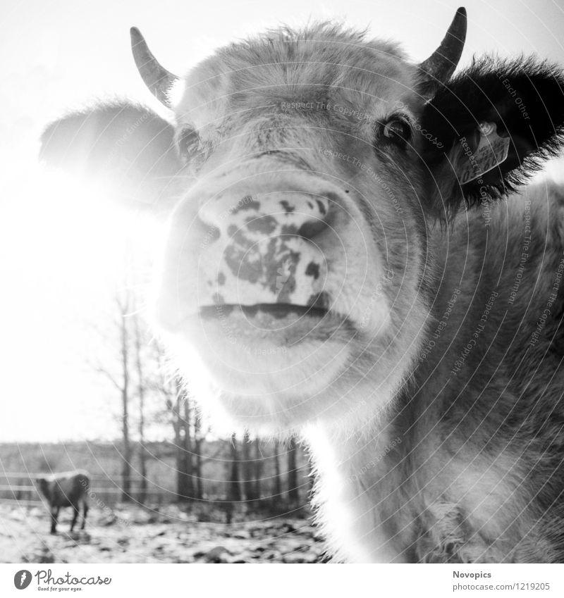 Cattle In Sun Lebensmittel Fleisch Milch Sonne Landwirtschaft Forstwirtschaft Natur Landschaft Tier Winter Wiese Feld Haustier Nutztier Kuh 2 schwarz weiß