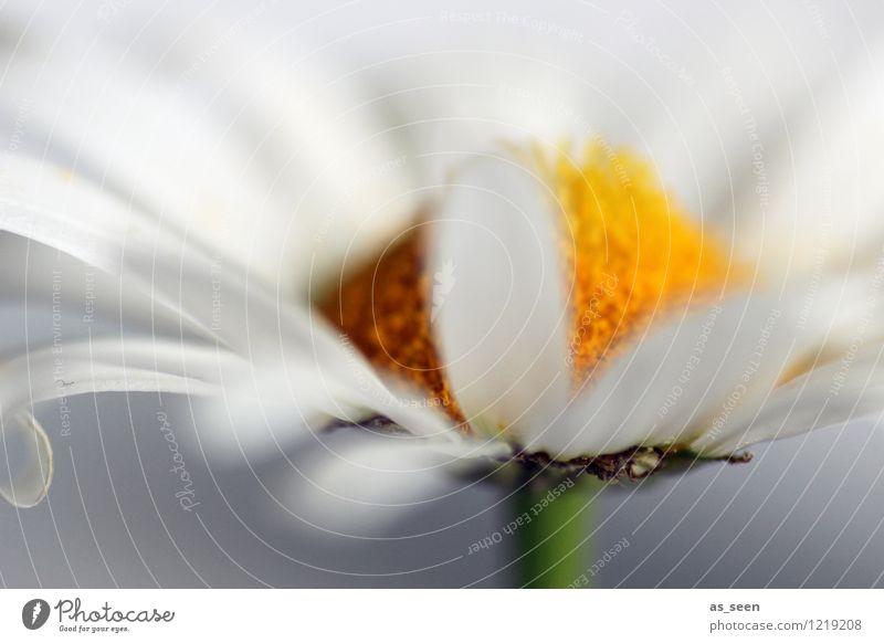 Margerite Natur Pflanze schön Farbe Sommer weiß ruhig Umwelt gelb Leben Frühling Blüte Stil Lifestyle hell Design