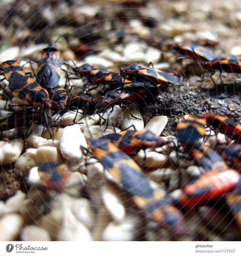 feuerwanzenparty Feuerwanze Schiffsbug Insekt Ernährung Fressen Anhäufung Sonnenblumenkern Fortpflanzung Park Tier Pflanzenfresser Käfer Lebensmittel Bodenbelag