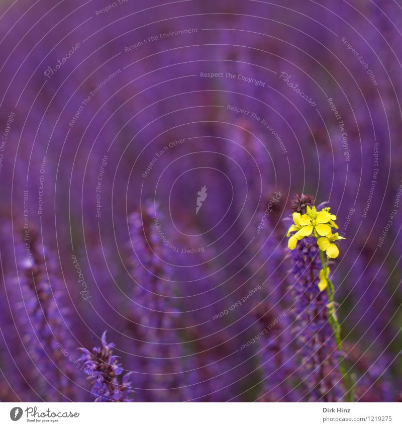 Gelber Individualist Umwelt Natur Landschaft Pflanze Frühling Sommer Blume Blüte Garten Park Zeichen außergewöhnlich exotisch schön einzigartig wild gelb