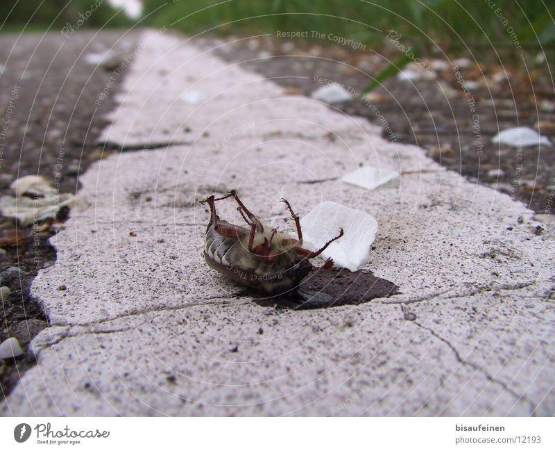 Tod dem Maikäfer Tier Straße Tod Wege & Pfade Insekt Streifen Gift Käfer töten Blütenblatt Maikäfer