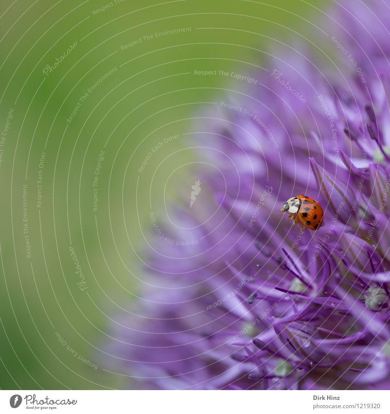 Marienkäfer besucht Zierlauch Umwelt Natur Pflanze Tier Frühling Sommer Blüte Garten Park Wildtier Käfer Flügel 1 außergewöhnlich Duft schön grün violett Blume
