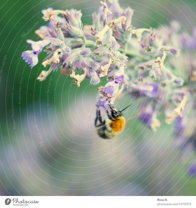 laben Sommer Blume Blüte Insekt Hummel 1 Tier Blühend Essen verblüht authentisch Katzenminze hängen Farbfoto Außenaufnahme Menschenleer Textfreiraum unten