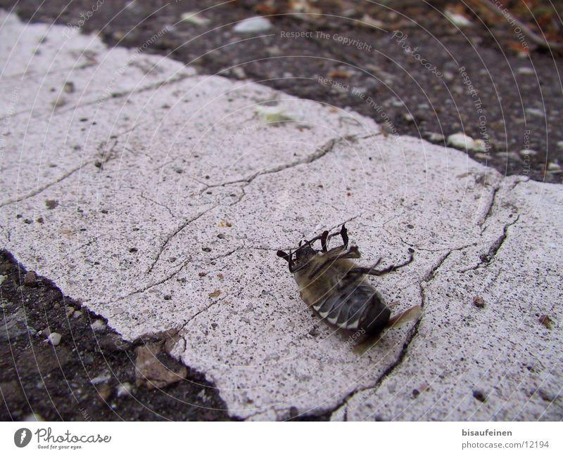 Tod eines Maikäfers Insekt Schiffsbug Straße Gift Schädlinge Käfer dead poison