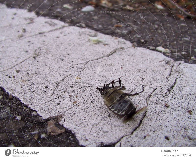 Tod eines Maikäfers Straße Tod Insekt Gift Käfer Mai Schiffsbug Schädlinge Maikäfer