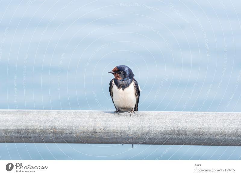ich mach gleich die Schwalbe Wasser Vogel sitzen Aussicht maritim Schwalben