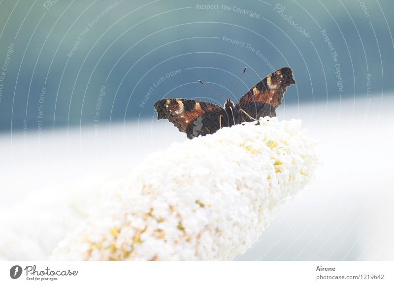 alles meins Pflanze Blume Blüte Schmetterlingsflieder Fliederbusch Sträucher Garten Tagpfauenauge 1 Tier Schmetterlingsflügel Flügel Insekt Fühler fliegen