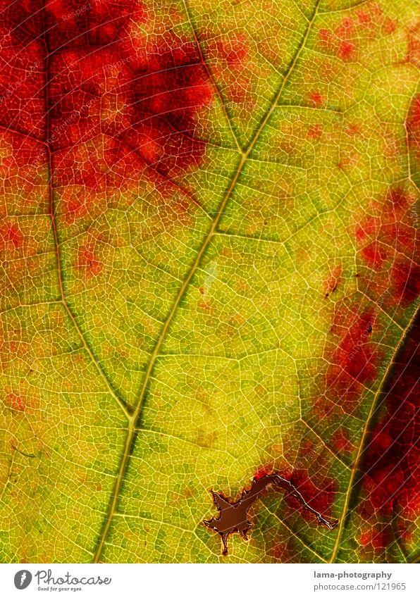 Angefressen Gefäße Arterien Membran Photosynthese Herbst Blatt gelb grün rot Wein Weinbau zerfressen Wechseln Jahreszeiten Herbstlaub Herbstfärbung Ahorn Eiche