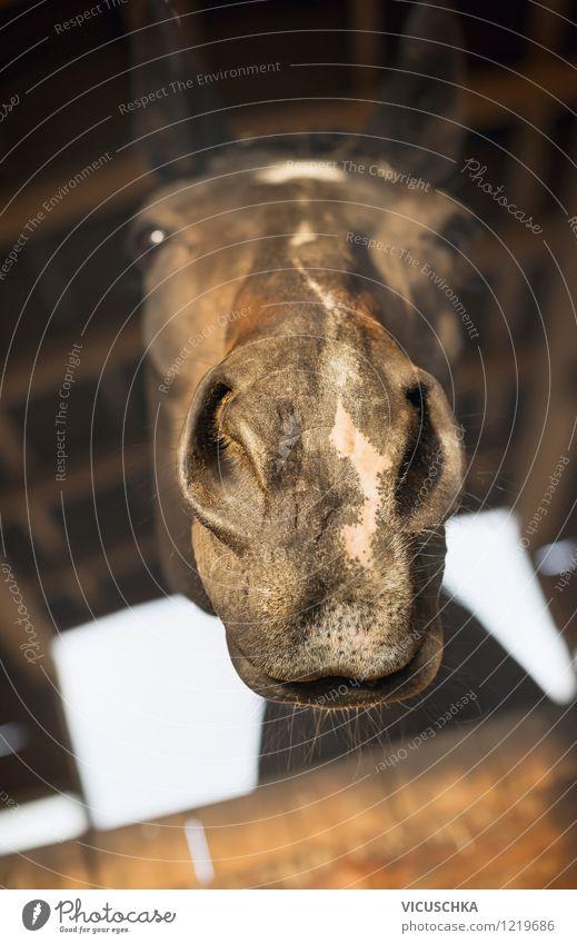Ein schöner Rüssel Lifestyle Freizeit & Hobby Reiten Tier Pferd 1 Liebe Natur Pferdekopf Humor lustig Nase betteln Tierporträt Stall Farbfoto Nahaufnahme