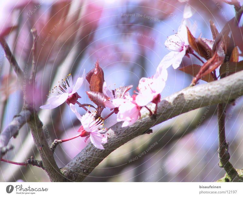 Spring Blüte Kirsche Baumrinde rosa Frühling Kirschenbaum Zweig Ast
