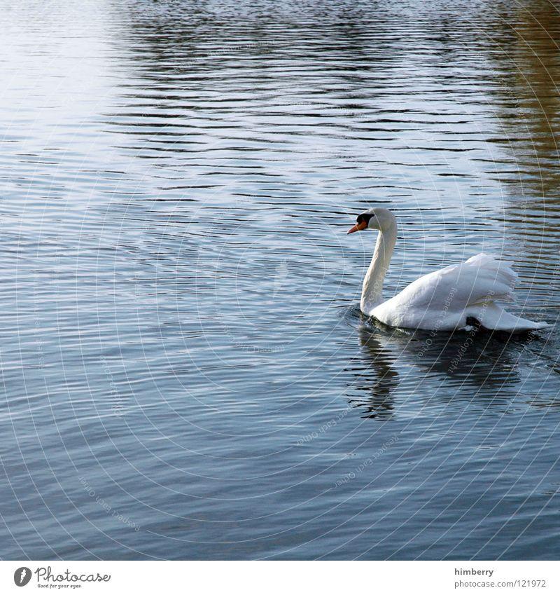 franzi van almsick Natur Wasser Tier See Vogel Park Schwimmen & Baden Feder Flügel Im Wasser treiben Schwan Schwanensee