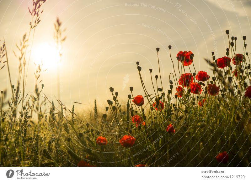 frühMOHrgeNs Natur Pflanze Sommer Sonne Erholung Blume ruhig Traurigkeit Gefühle Glück Stimmung Zufriedenheit Feld Idylle ästhetisch Beginn
