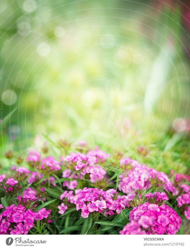 Pink Bartnelken im Garten Stil Design Sommer Natur Pflanze Frühling Herbst Schönes Wetter Blume Blatt Blüte Park rosa Hintergrundbild Blumenbeet Nelkengewächse