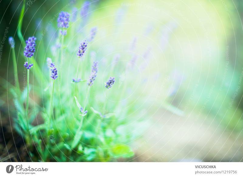 Lavendel im Garten Natur Pflanze Sommer Blume Blatt Blüte Herbst Hintergrundbild Garten Park Design weich Schönes Wetter Blumenstrauß Duft Alternativmedizin