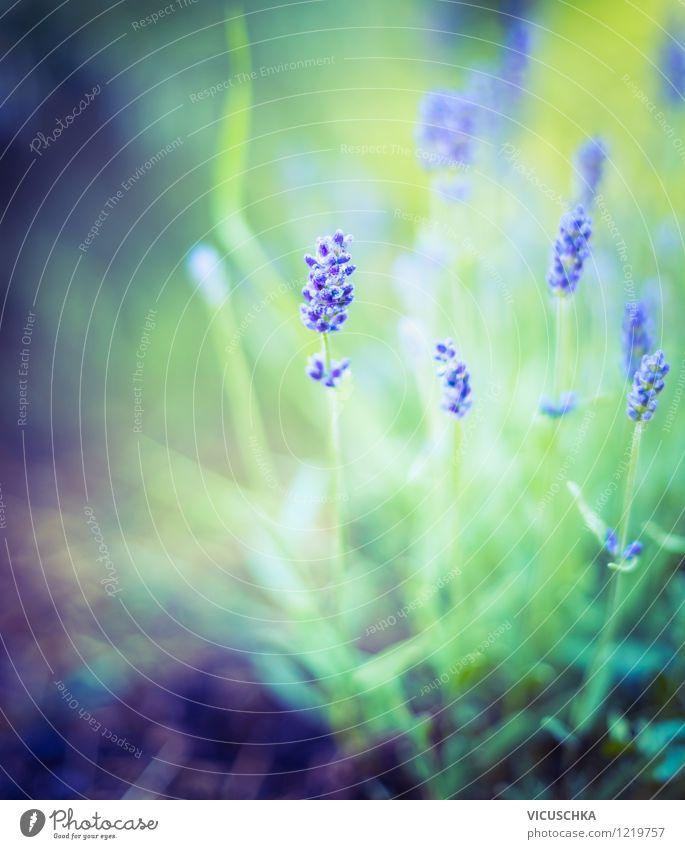 Lavendel im Traumgarten Natur Pflanze Sommer Blume Blatt Blüte Hintergrundbild Garten Park Design Sträucher weich Schönes Wetter Kräuter & Gewürze Duft aromatisch