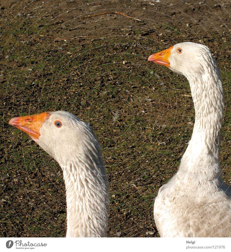 ziemlich neugierig... grün weiß Tier Wiese 2 Vogel braun orange Feld Tierpaar Feder paarweise Spitze weich Neugier Landwirtschaft