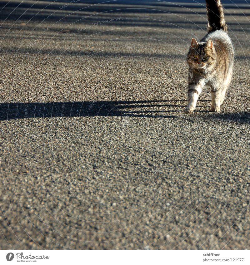 Catwalk I Katze Hauskatze Tier Säugetier Laufsteg stolzieren Fell Schwanz Zuneigung Schatten Felidae Tigerle MuschMusch gehen ranpirschen Haare & Frisuren