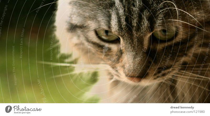 Stinky Farbfoto Außenaufnahme Textfreiraum links Tag Sonnenlicht Tierporträt Blick nach vorn schön Natur Schönes Wetter Gras Haustier Katze Tiergesicht Fell 1