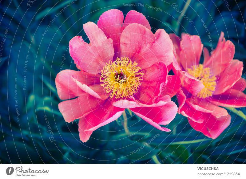 Pfingstrosen Blumen Design Sommer Garten Natur Pflanze Frühling Blatt Blüte Park gelb rosa Stil Hintergrundbild Päonien Außenaufnahme dunkel authentisch Mai