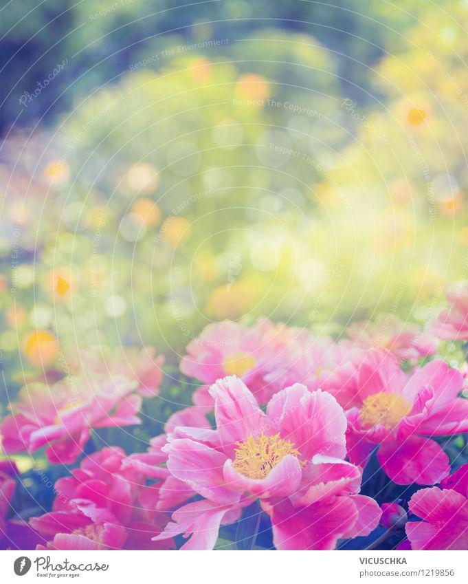 Pfingstrosen im Garten Natur Pflanze Sommer Blume Blatt gelb Frühling Liebe Blüte Stil Hintergrundbild rosa Park Design elegant