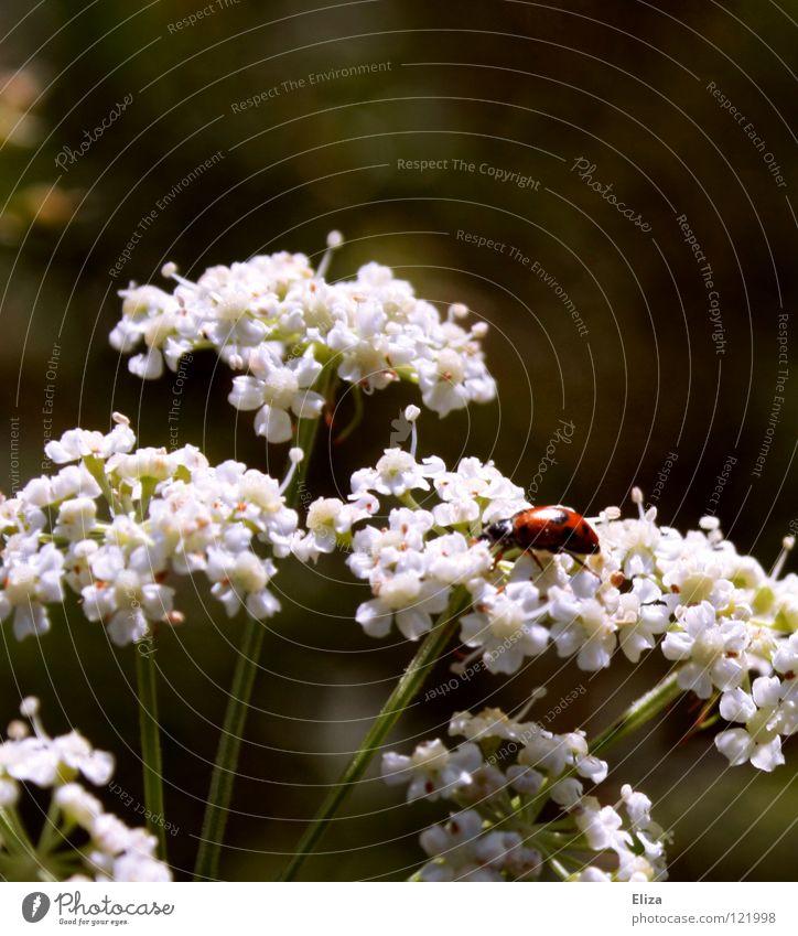 auf Wolken schweben Natur weiß Sommer Blüte Frühling Wärme klein Insekt Physik Marienkäfer Glücksbringer
