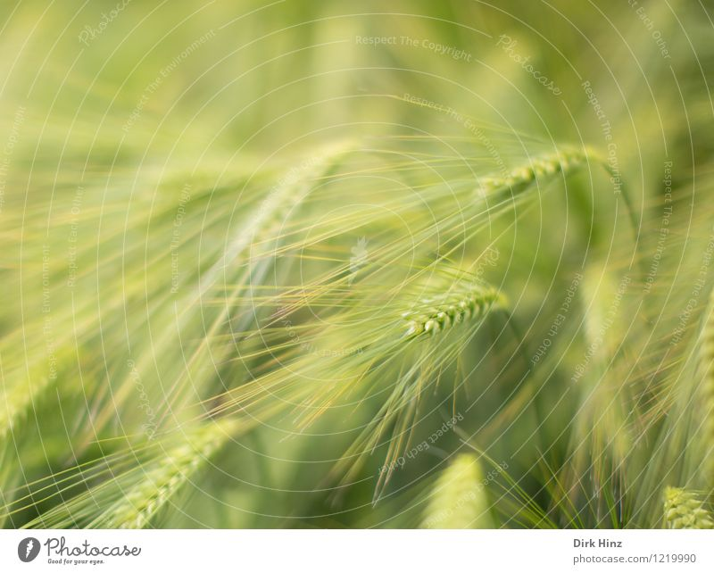 Gerstenfeld Umwelt Natur Landschaft Pflanze Frühling Sommer Nutzpflanze Feld grün Landwirtschaft Agrarprodukt Ackerbau Ähren Getreide filigran Wachstum Ernte
