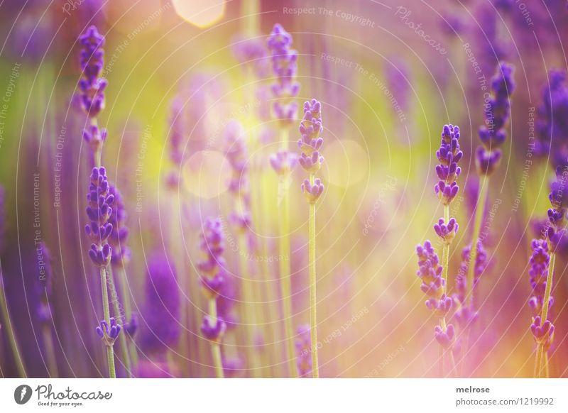 Sommerleuchten elegant Stil Geburtstag Natur Pflanze Schönes Wetter Blume Gras Wildpflanze Topfpflanze Lavendelfeld Blütenstiel Garten Lavendelduft Unschärfe