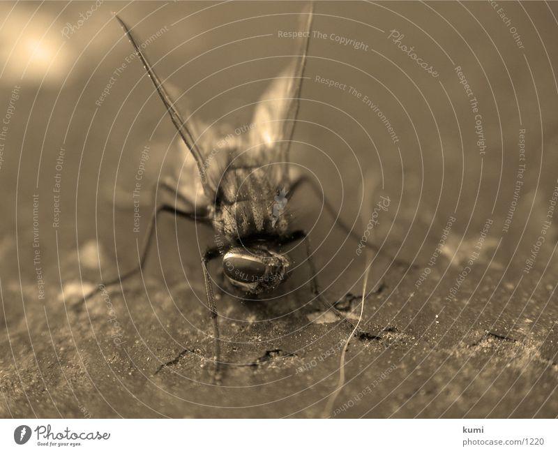 Fliegenleiche Nummer 2 Insekt Verkehr morbid Tod Makroaufnahme Sepia verneigung