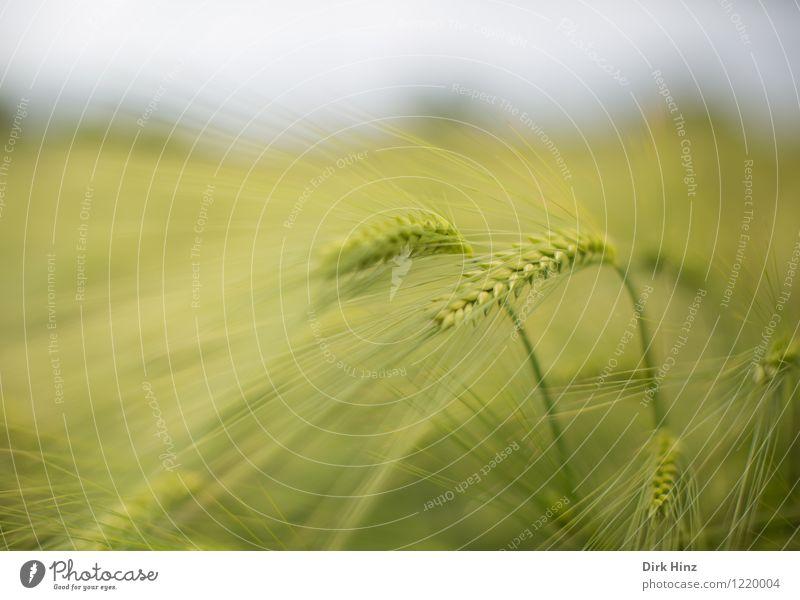 Getreidefeld Umwelt Natur Landschaft Pflanze Sommer Feld ästhetisch grün Ähren Landwirtschaft Feldfrüchte Agrarprodukt filigran Gerste Gerstenfeld Lebensmittel