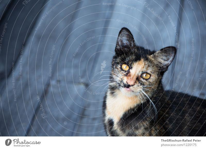 Katze Tier Haustier blau braun gelb gold grau orange schwarz weiß Ohr Schnauze Behaarung Fell Muster Holzbrett Schneidebrett Auge Nase Haare & Frisuren herzlich